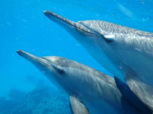 Nager avec les grands dauphins sauvages